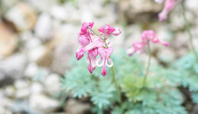市民ボランティアの調査で高山植物への地球温暖化の影響を予測 北海道大学