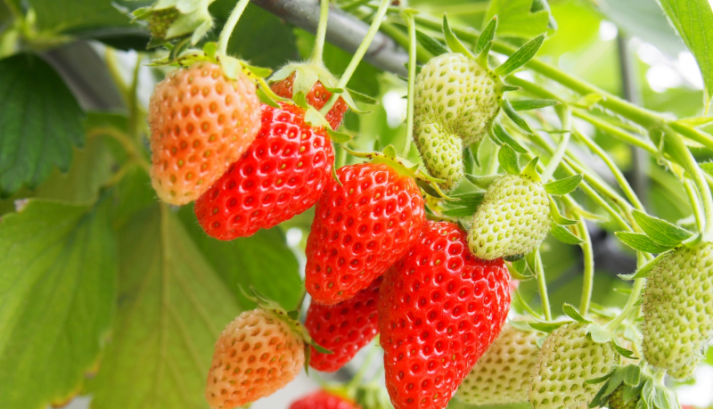 進む農業IoT、日本国内からロシアでのイチゴ栽培を支援