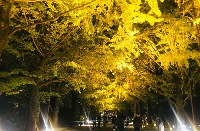 昭和記念公園で黄葉紅葉まつり開催中 イチョウ並木のライトアップ
