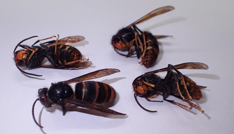 ツマアカスズメバチが山口県で本州初確認 養蜂への被害を懸念