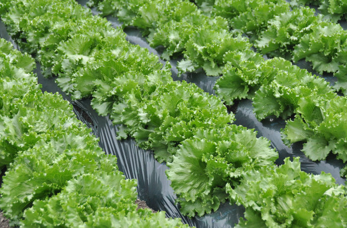 AIでレタスの市場価格を予測 植物工場のフードロス削減の一助に