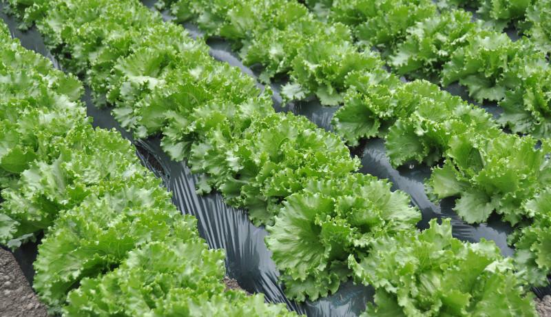AIで大田市場のレタスの市場価格を予想 植物工場野菜のロス削減を目指して NEDO