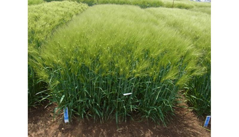 新品種「きはだもち」育成 多収でβグルカンが多いもち麦 農研機構