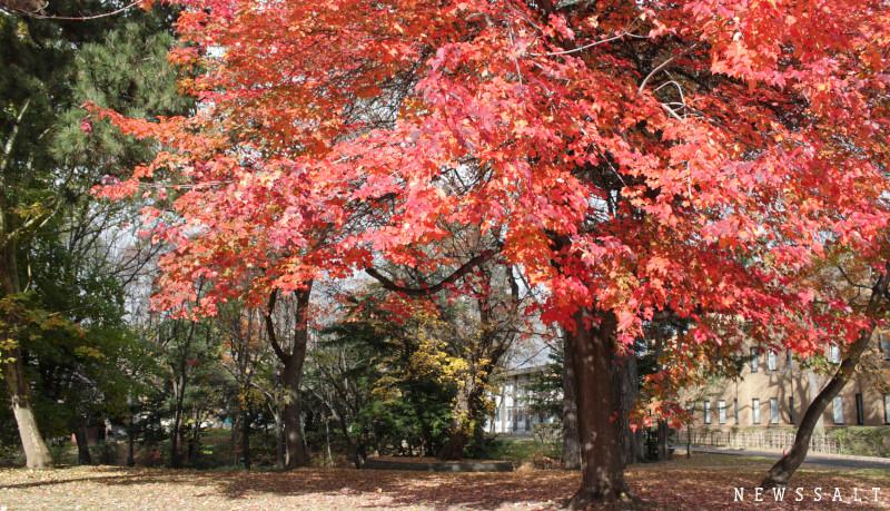 道内で人気の紅葉スポット北海道大学 カエデやモミジが色鮮やかに