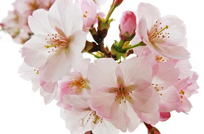 ソメイヨシノがピンクに色づく仕組み 弘前大学が解明