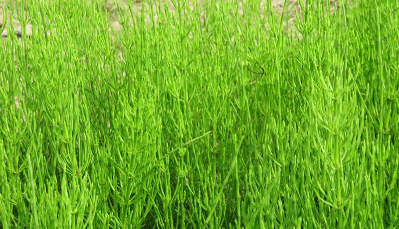地下茎の成長メカニズムを解明 作物生産や雑草防除に期待