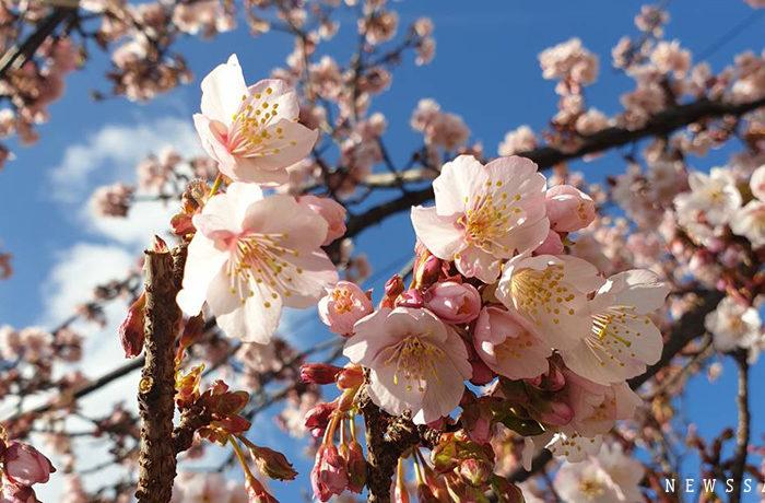 早春に咲く「あたみ桜」が見ごろ 熱海で「あたみ桜 糸川桜まつり」開催中