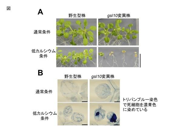 植物のカルシウム欠乏症の仕組み解明へ一歩 東大研究チーム