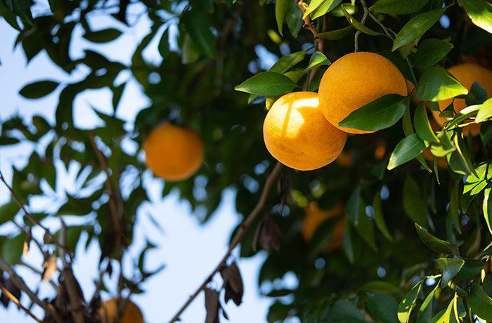 温州みかんの糖度をAIで予測 高糖度果実の栽培管理を目指す