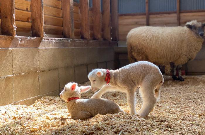堺・緑のミュージアムは春の出産ラッシュ 7匹の子羊が誕生