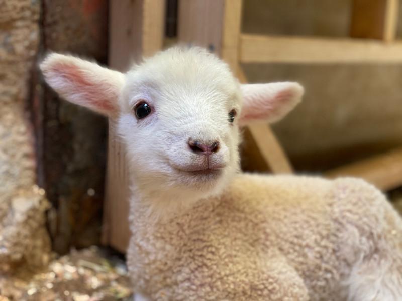 7匹の子羊が誕生 堺・緑のミュージアム ハーベストの丘