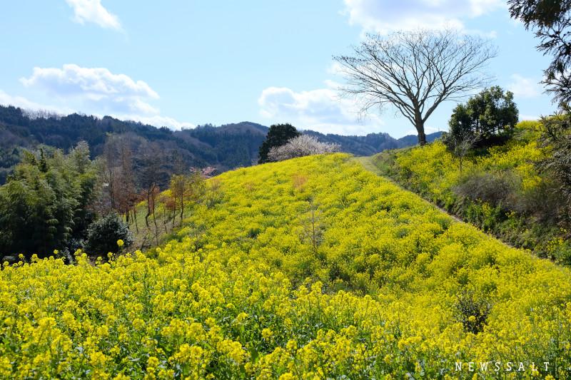 愛媛県伊予市の黄色い丘 佐礼谷黄色い丘