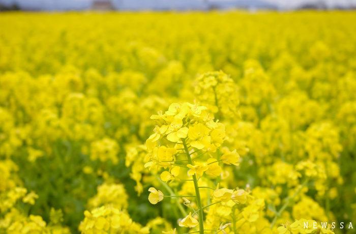 愛媛県東温市で菜の花が満開 例年より早い見頃