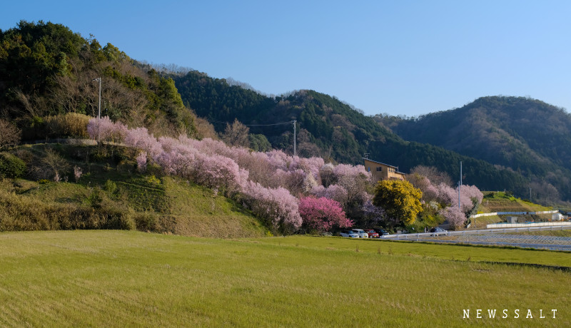 一足早い春の便り 松山市善応寺でケイオウザクラが開花