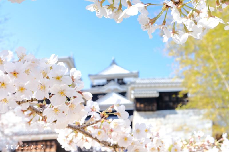 松山城の桜が見頃②