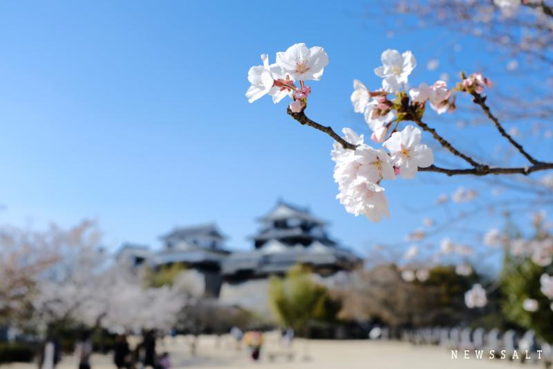 松山城の桜が見頃③