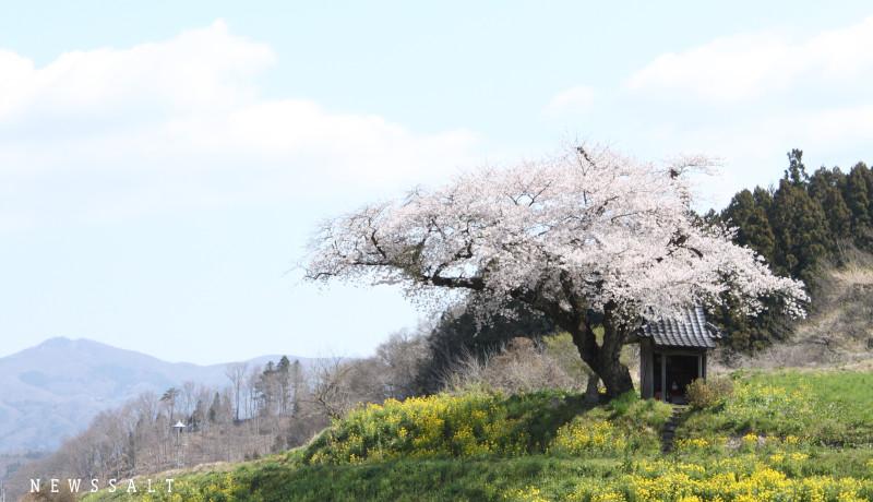 今年は写真で花見を 福島の桜が見ごろを迎える