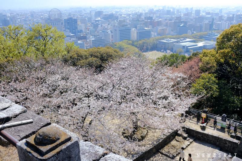 松山城の桜が見頃④