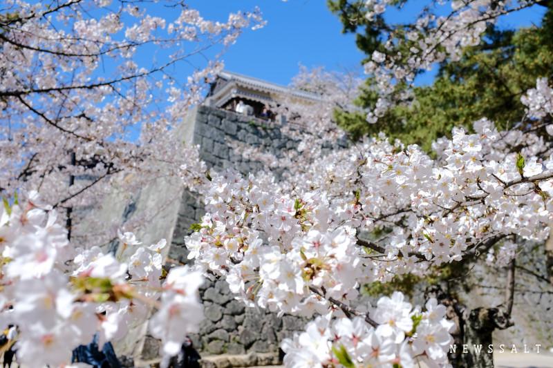 松山城の桜が見頃⑤