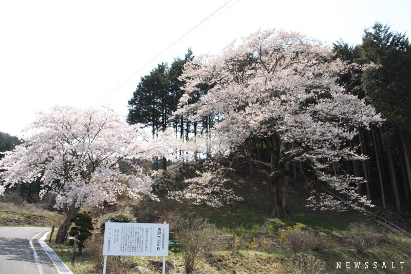 今年は写真で花見を 散り姿も美しい福島都路の桜