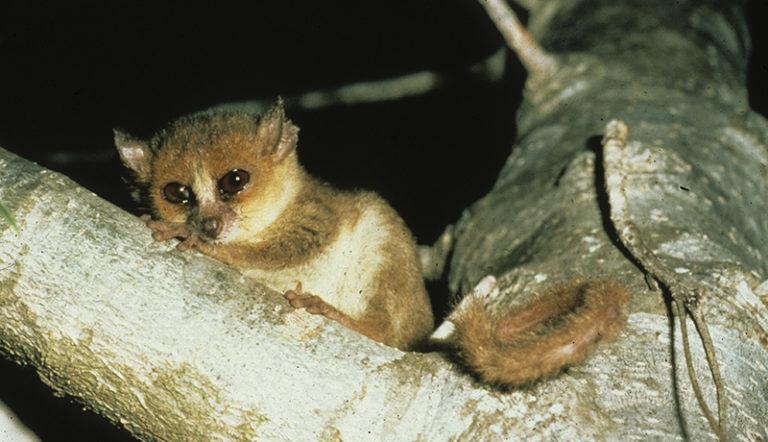IUCNレッドリスト更新、キツネザル類など深刻な危機