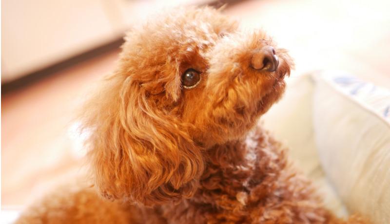 ペットショップの保護犬譲渡活動 譲渡実績1000頭を達成