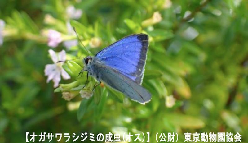 日本固有のチョウ、オガサワラシジミが絶滅の可能性