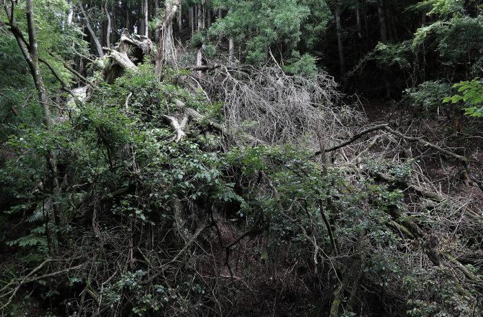 「台風は森林崩壊を引き起こす」 北大などがメカニズムを解明