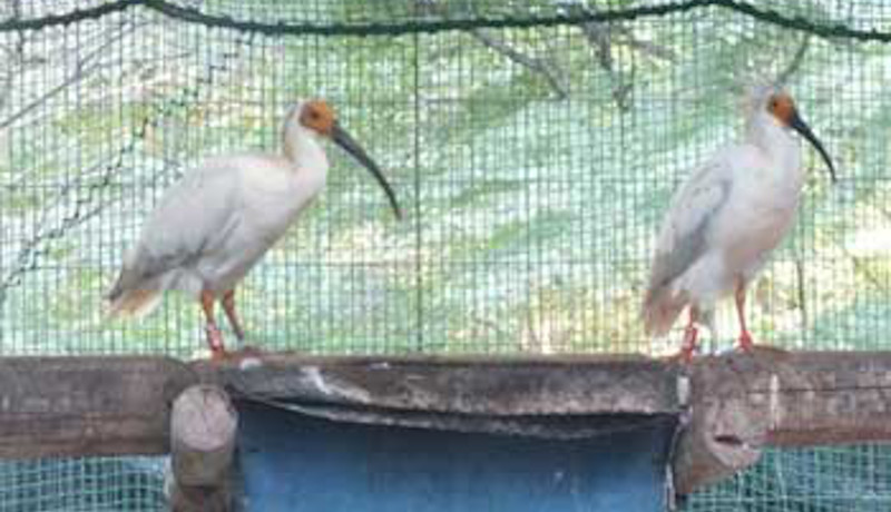 多摩動物園生まれのトキ4羽が佐渡へ移動