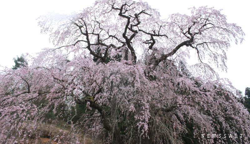 福島の桜巡めぐり